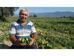 Turşuluk salatalık üreticisi yeni ürün arayışında