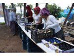 Mersin'de Yılın İlk Siyah İncir Hasadı Bağlarbaşı'nda Başladı