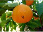 Akdeniz Meyve Sineği Uyarısı