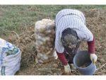 Afyonkarahisar Patates Üretiminde 3. İl