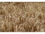 """Doğru: """"Buğdayda Tatminkar Fiyat Bekliyoruz"""""""