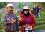 Yayladağı Çileği Suriyeli Türkmenlerin Ekmek Kapısı Oldu