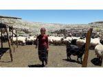 Mersin'de 5 Yılda 15,5 Milyon Tl Süt Koyunculuğu Ve Süt Sığırcılığı Desteği Verildi