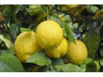 Limon İhracatında Ön İzin Şartının Kalkması, İhracatçı Ve Üreticiyi Sevindirdi