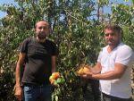 Adanalı Üretici, 40 Derece Sıcakta Armut Hasadına Başladı