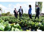 Isparta Aksu'da 500 Ton Çilek Üretimi Yapılıyor