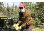Isparta'da Üretici Ve Tüccar Elma Fiyatlarından Memnun