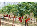 Hatay'da Topraksız Çilek Üretimi Artıyor