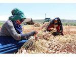 Tarım İşçilerinin Bayram Mesaisi