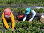 Kahramanmaraş'ta Örtü Altında Yetiştirilen Çileğin İlk Hasadı Yapıldı