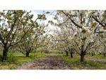 Isparta'da Kiraz Bahçelerinde 'Beyaz' Şölen