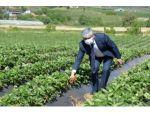 Yayladağı Çileğinin Yüzde 80'i İhraç Ediliyor