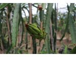 Çukurova'da Ejder Meyvesi Ekim Alanı Artıyor
