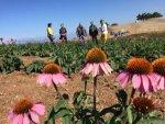 Isparta'da Ekinezya Tarlası Görsel Şölene Hazırlanıyor