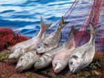 Balıkçılık Sektörü 1 Milyar Dolar İhracata Koşuyor