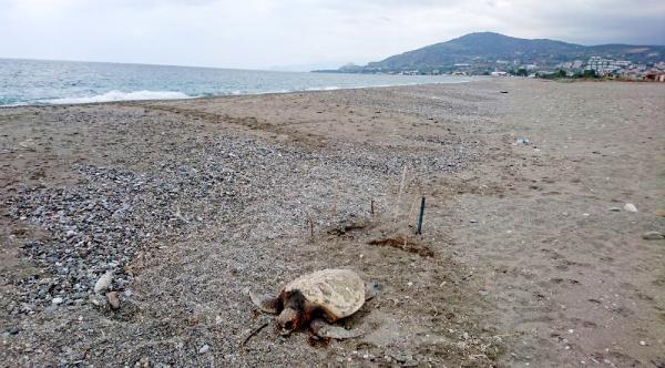 Alanya'da caretta caretta katliamı iddiası