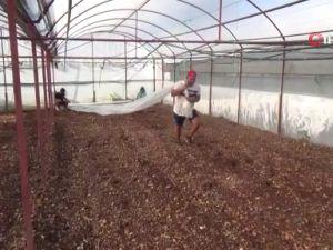 Hastalıklarla baş edemeyen çiftçiler, seralarda solarizasyon uygulaması başlattı