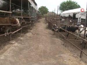 4 bilezikle hayvancılık işine girdi, Kurban Bayramı öncesi servetine servet kattı !