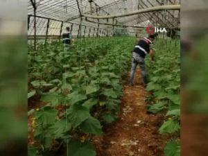 Örtüaltı kaçak hint keneviri üretimine jandarma baskını