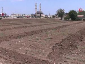 Turizm bölgesinde susam tarımı yeniden ayağa kalkıyor !