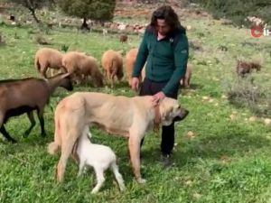 Çoban köpeğinden ders gibi vefa örneği