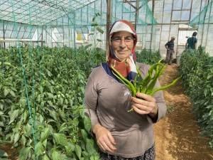 Antalya'da kahvaltılık biber hasadı başladı