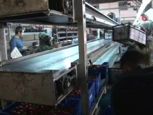 Antalya'dan tanzim satışa 4 günde bin 400 ton sebze