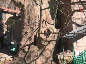 Çınar ağacı yıllara meydan okuyor